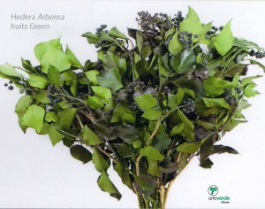 hedera arborea fruits green
