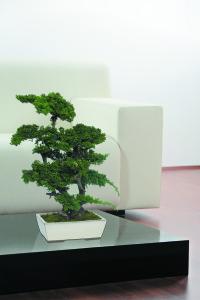 Bonsai Juniperus | 25-50-70 cm