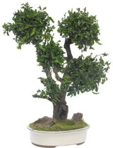 bonsai pitosforo