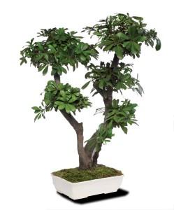 bonsai tobira
