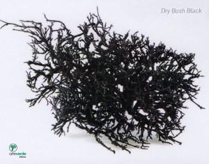 dry bush black