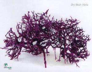 dry bush viola