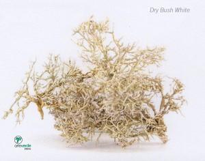 dry bush white