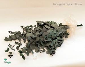 eucalyptus populus verde