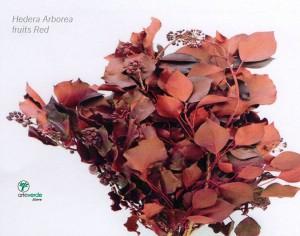 hedera arborea red